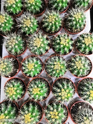 Cactus, suculent, Succulent, cactus. Lots of different succulents A lot of cactus