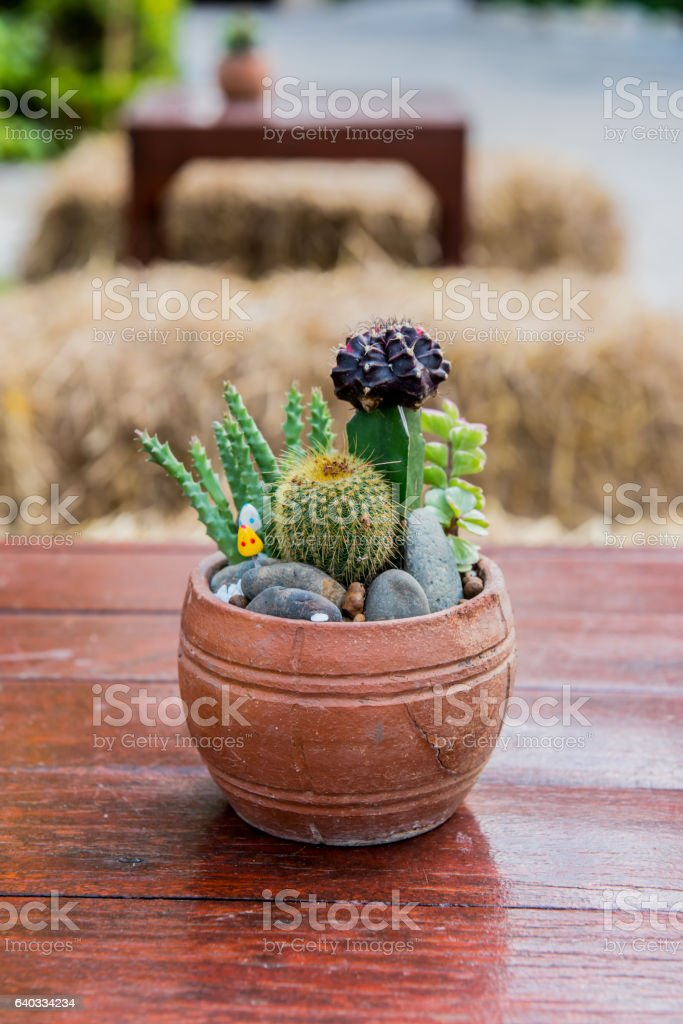 cactus, sugar palm leaf, decoration in the garden stock photo