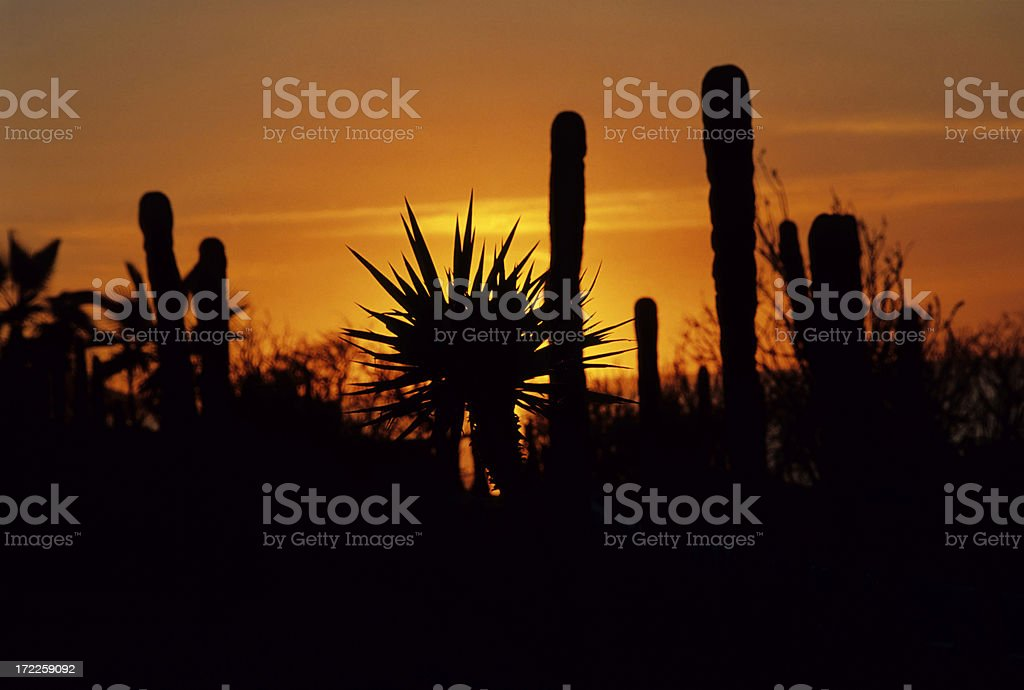 Cactus Sunset royalty-free stock photo