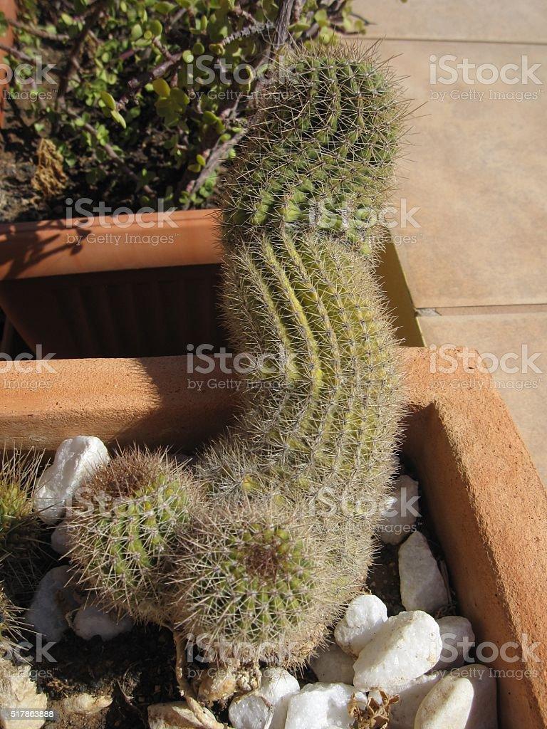 kaktus penisa