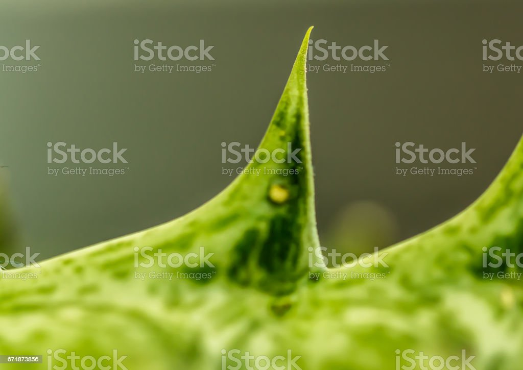 Cactus thorns beautiful closeup stock photo