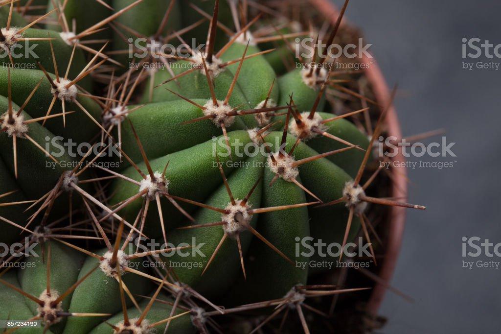 Cactus thorns close-up. Macro cactus thorns. Cactus Background stock photo
