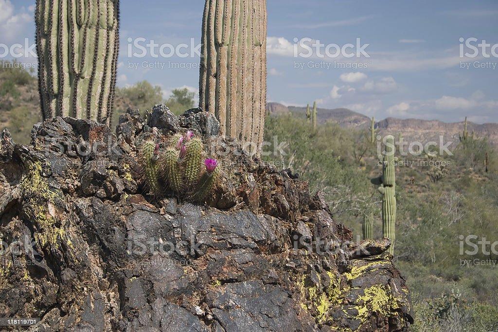 Cactus Tiny &Tall royalty-free stock photo