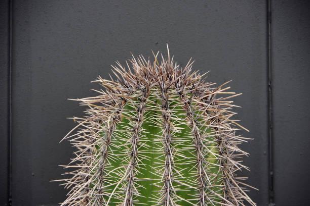 Cactus Tip stock photo