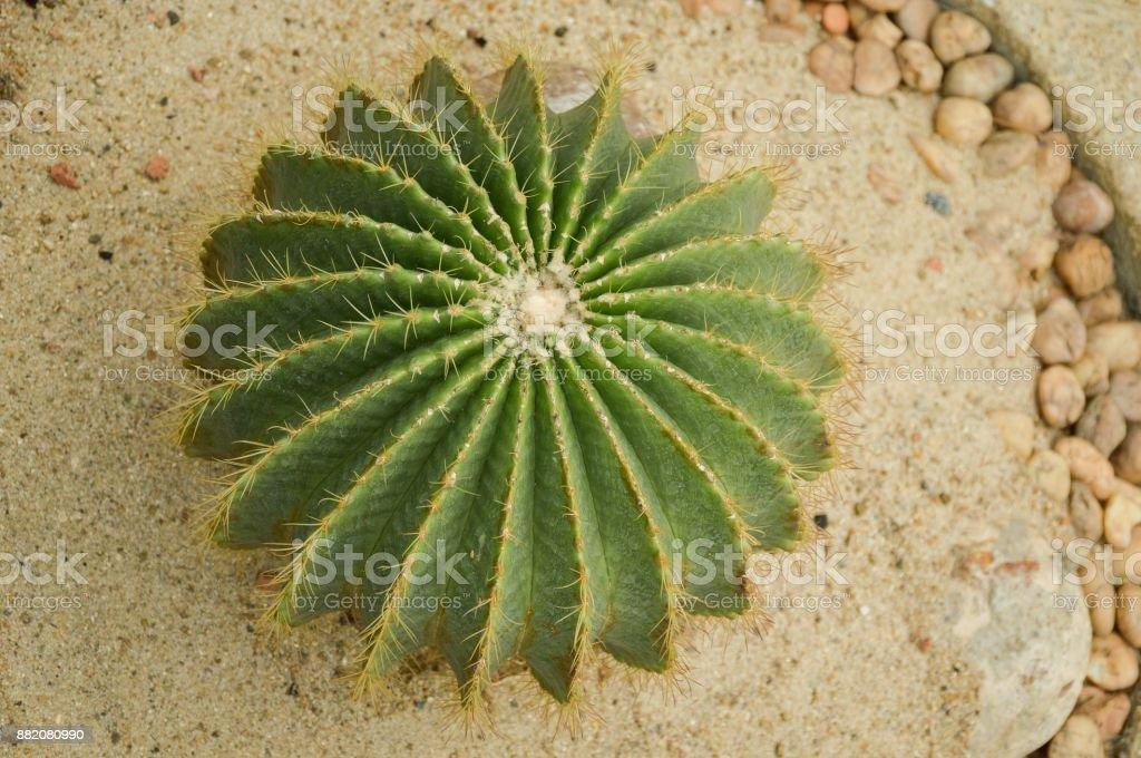 cactus tree in nature garden stock photo