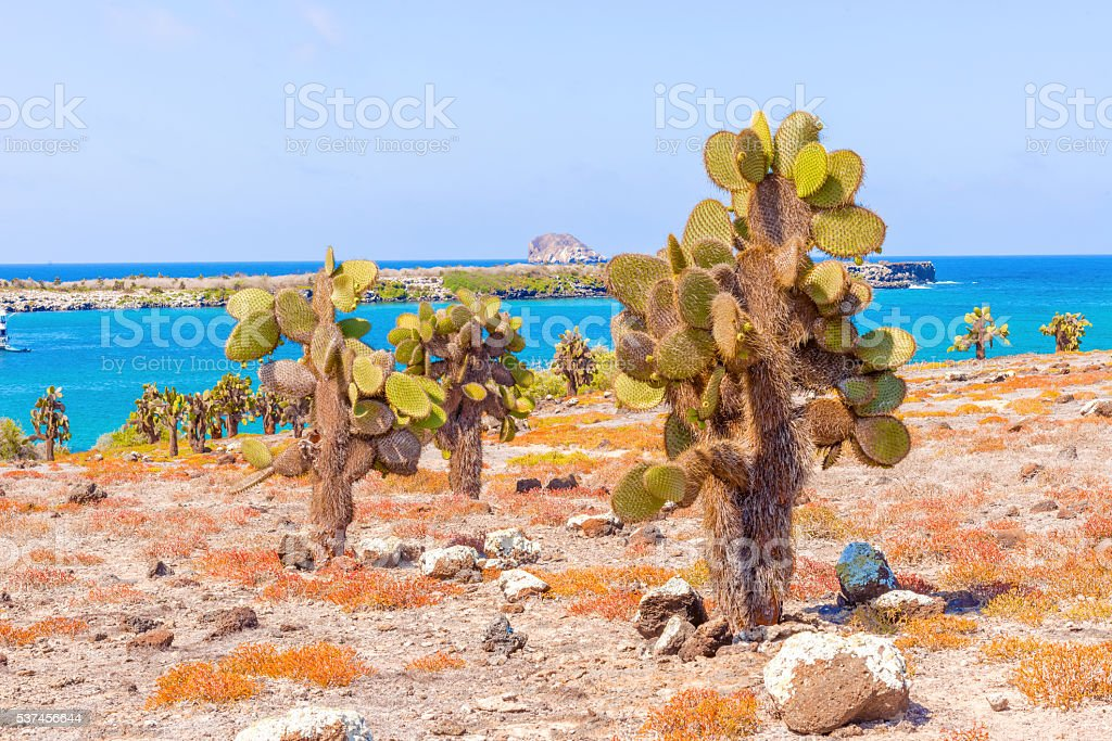 Cactus trees in Galapagos islands stock photo