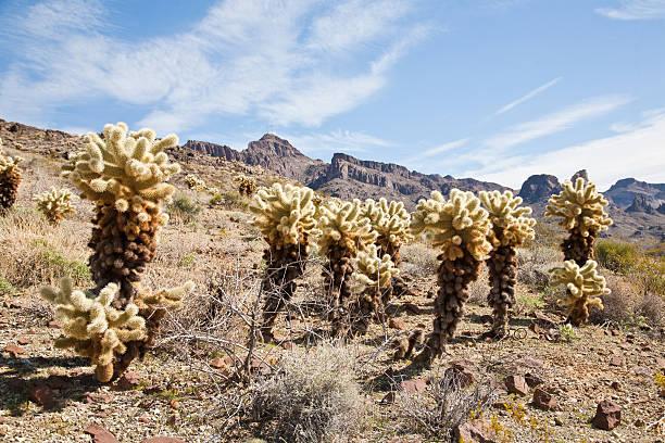 Cactus trees stock photo