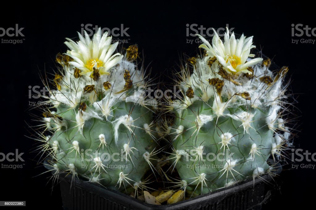 Cactus Turbinicarpus gielsdorfianus stock photo