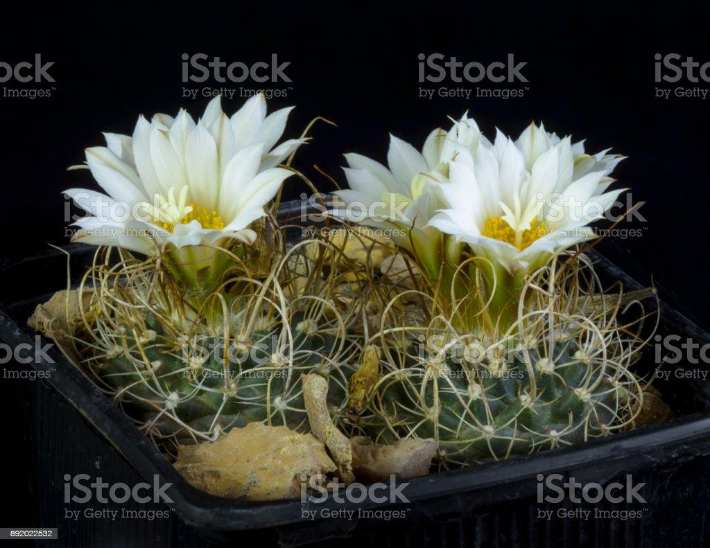 Cactus Turbinicarpus graminispinus stock photo