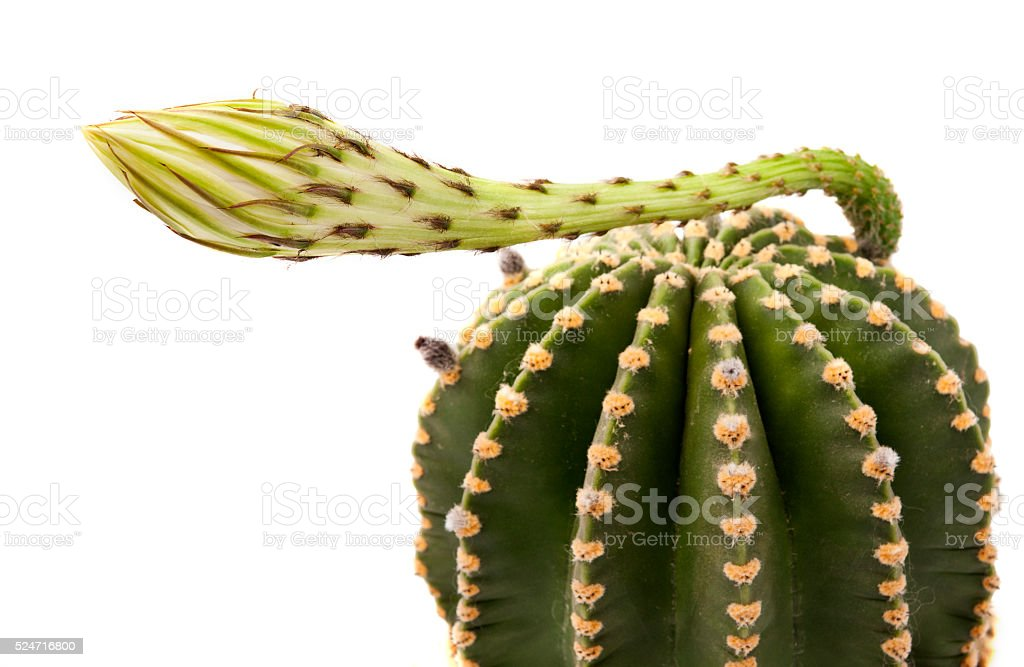 cactus with flower isolated stock photo