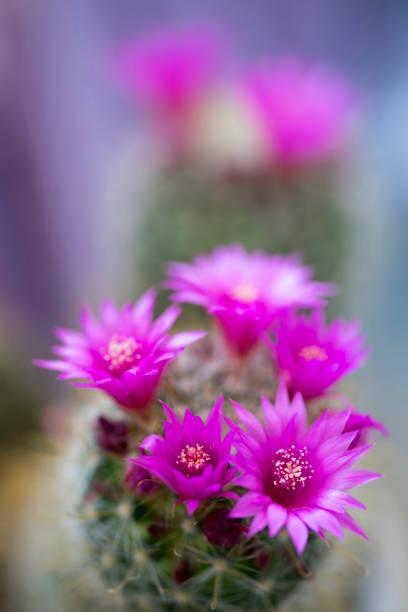 Cactus with Flower, Mammillaria Zeilmanniana stock photo