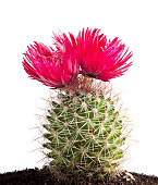 Cactus flower, Indian fig.