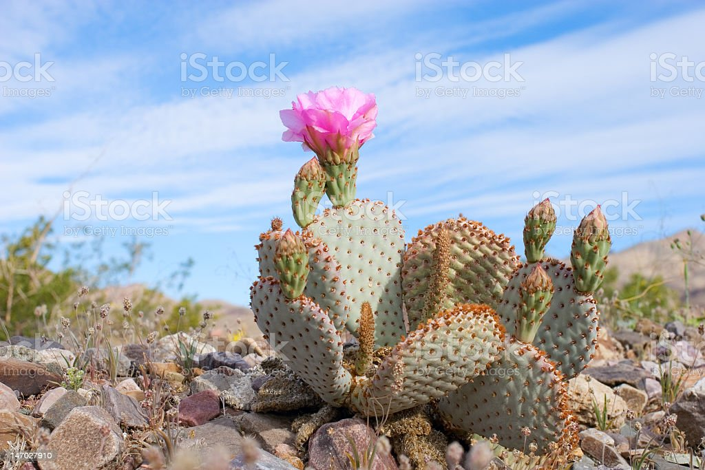 Cactus with pink flower amid blue desert sky and rocks stock photo