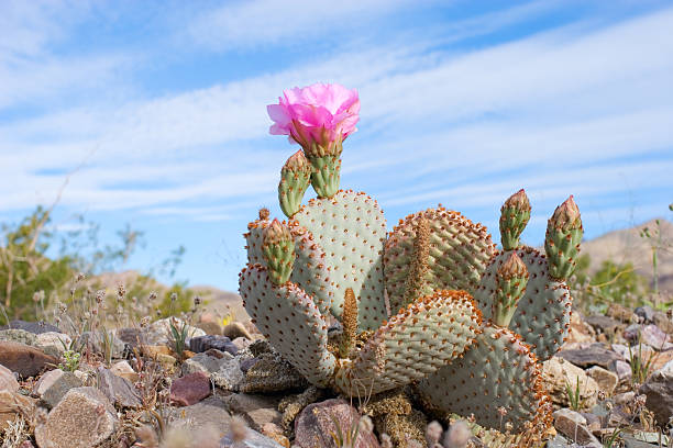 Cactus with pink flower amid blue desert sky and rocks blooming beavertail cactus (opuntia species) amid stock pictures, royalty-free photos & images