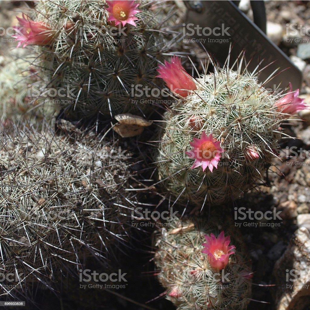 Photo De Cactus Avec Fleur Rose Image Libre De Droit Istock