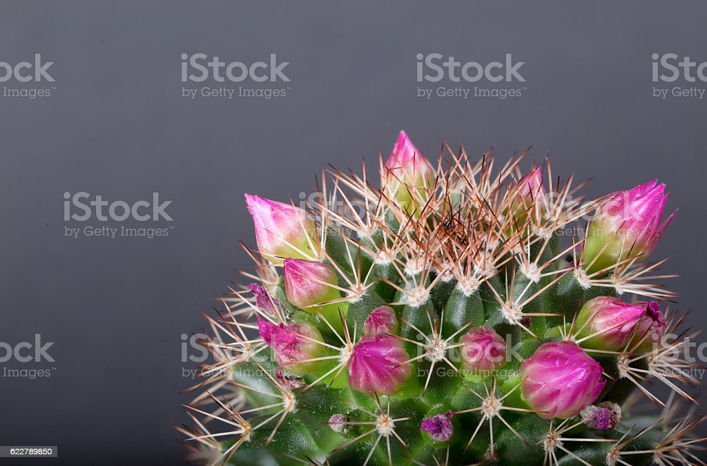 Cactus with pink flowers on a gray background stock photo more cactus with pink flowers on a gray background royalty free stock photo mightylinksfo