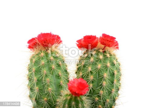 Cactus with red blossom on white background