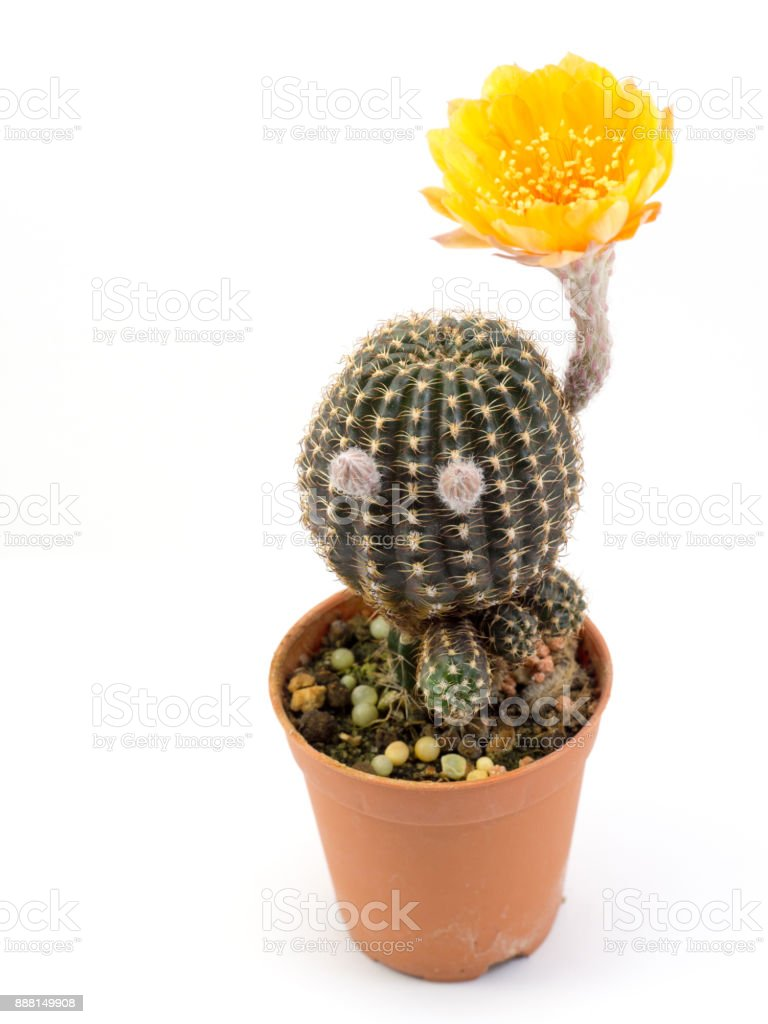 Cactus With Yellow Flower In A Pot Isolated On A White Background