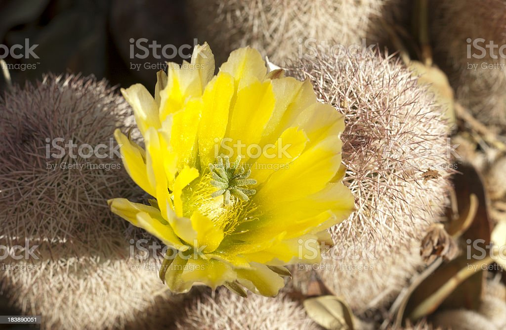 Cactus with Yellow Flower royalty-free stock photo