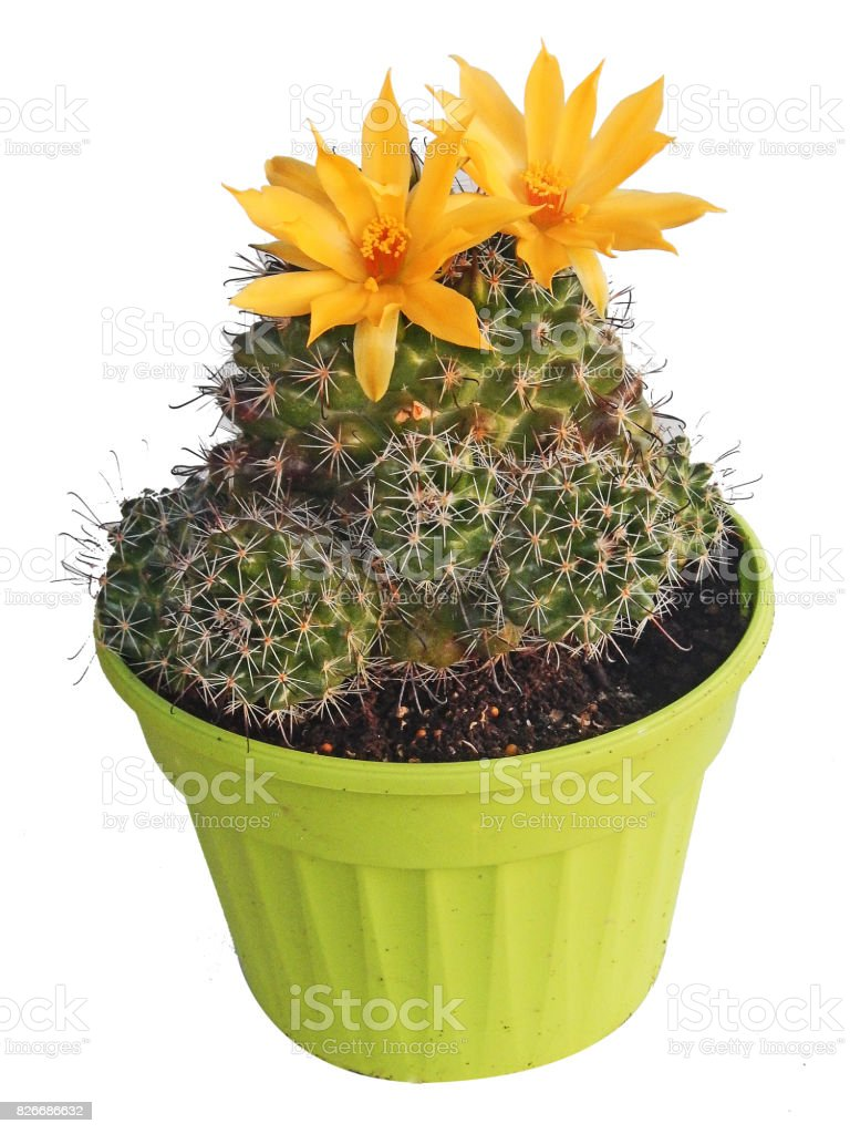 Cactus With Yellow Flowers Isolated On White Background Stock Photo