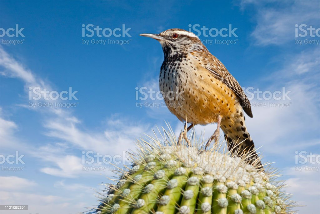 Cactus Wren on a Saguaro Cactus stock photo