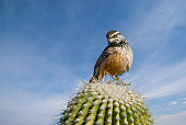 The cactus wren (Campylorhynchus Brunneicapillus) is the state bird of Arizona.  This species of wren is native to the southwestern United States southwards to central Mexico.  This wren was photographed perched on a saguaro cactus in the mountains near Tucson, Arizona, USA.