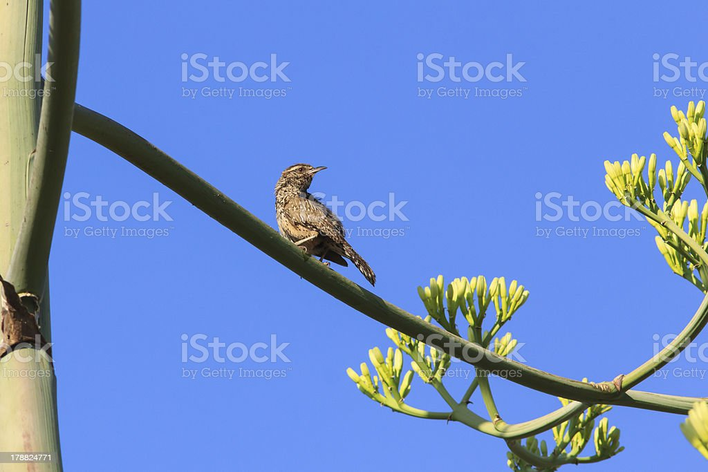 Cactus Wren Perched on Century Plant royalty-free stock photo