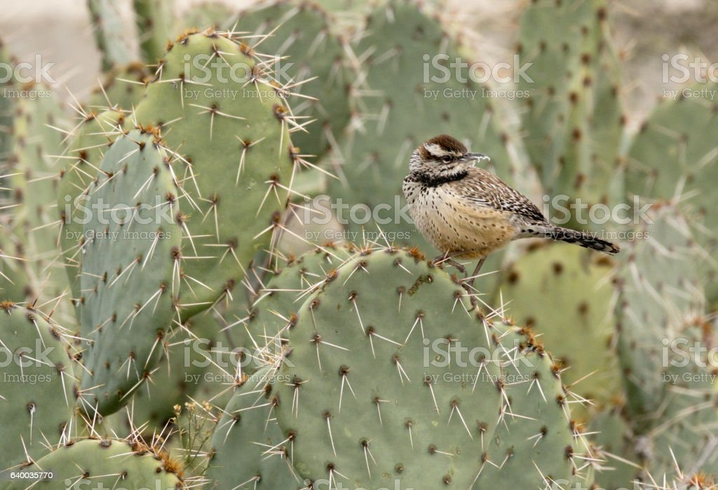 Cactus wren perched spiny prickly pear Tonto National Forest Arizona stock photo