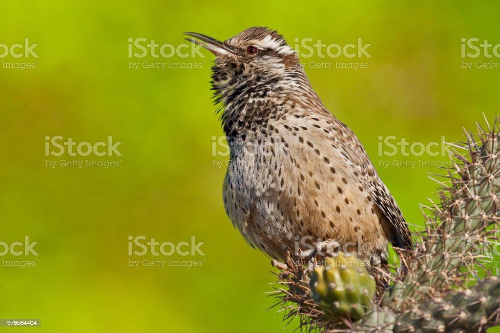 Cactus Wren Singing stock photo
