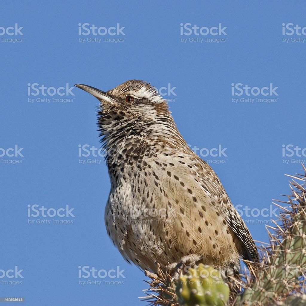 Cactus Wren the State Bird of Arizona royalty-free stock photo