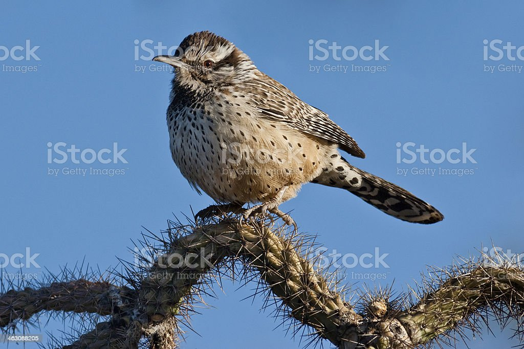 Cactus Wren the State Bird of Arizona royalty-free stock photo