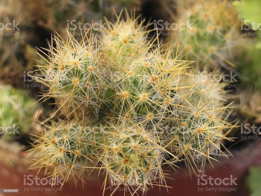 Cactus-1327 royalty-free stock photo