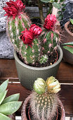 Cactuses in pots for sale