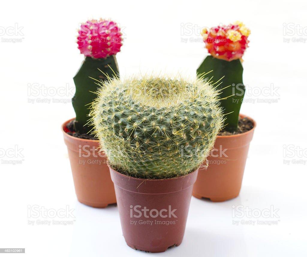 cactuses on white background stock photo