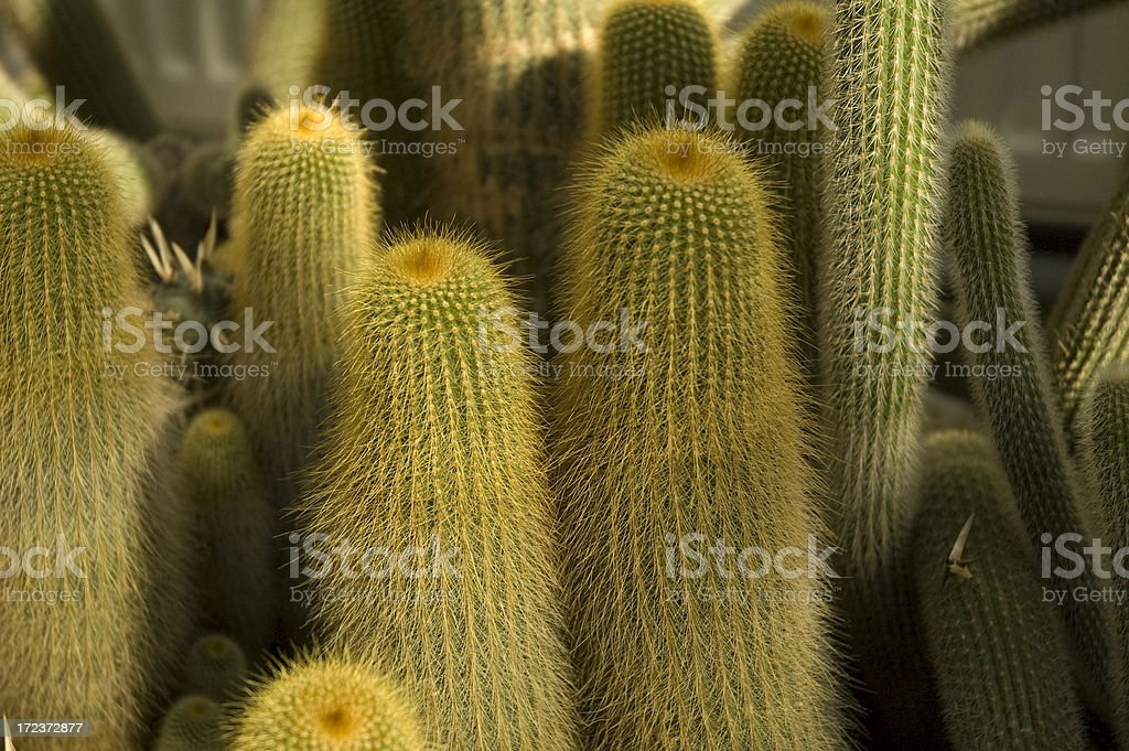 Cactuses royalty-free stock photo