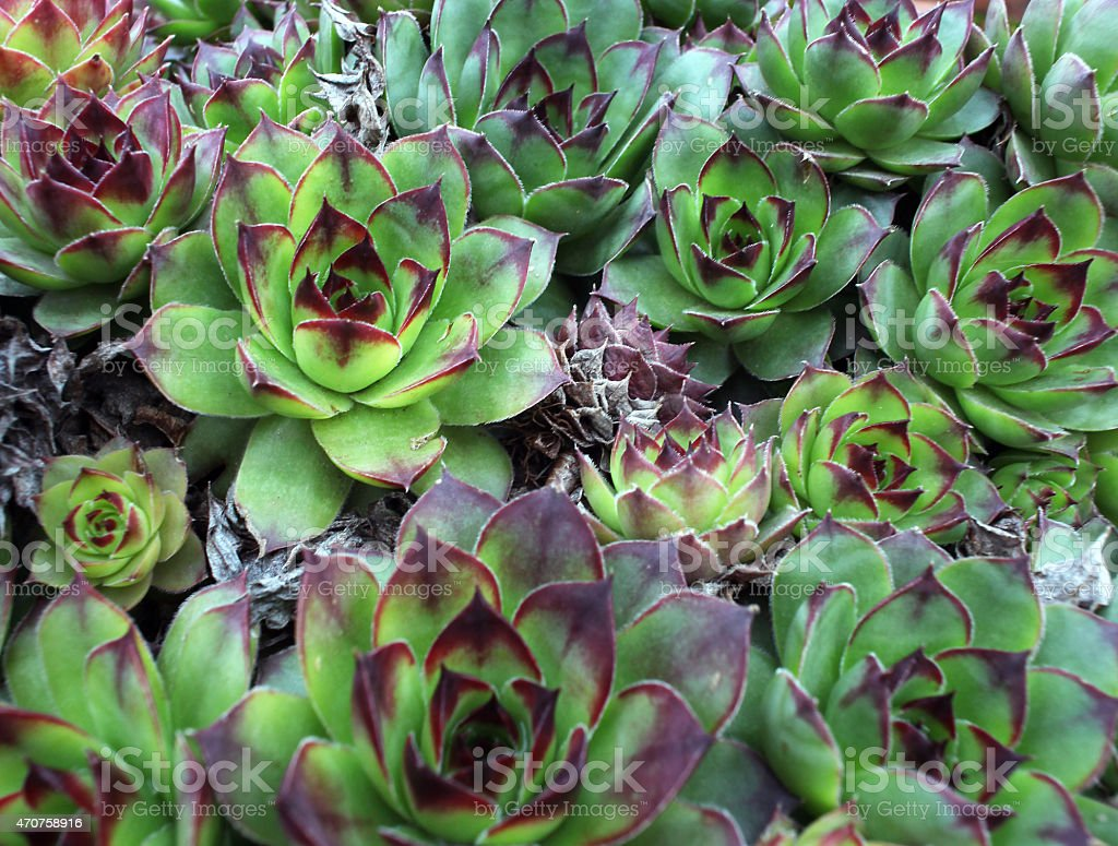 Cactus,sempervivum stock photo