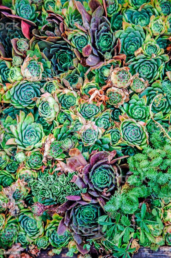 Cactus,sempervivum stock photo