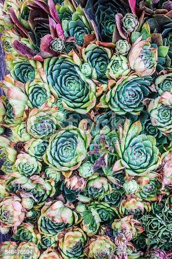 Cactus,sempervivum
