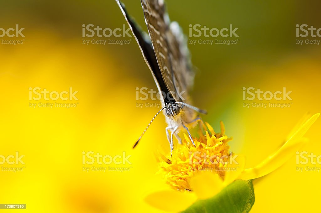 cacyreus marshalli royalty-free stock photo
