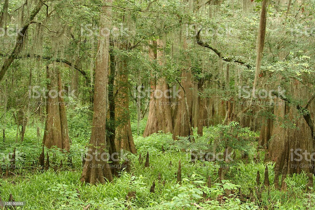 Caddo Lake State Park Forest royalty-free stock photo