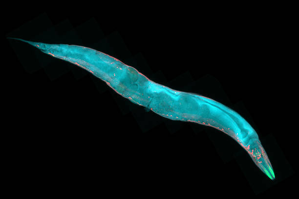 Caenorhabditis elegans Caenorhabditis elegans, a free-living transparent nematode (roundworm), about 1 mm in length. Fluorescence micrograph. roundworm stock pictures, royalty-free photos & images