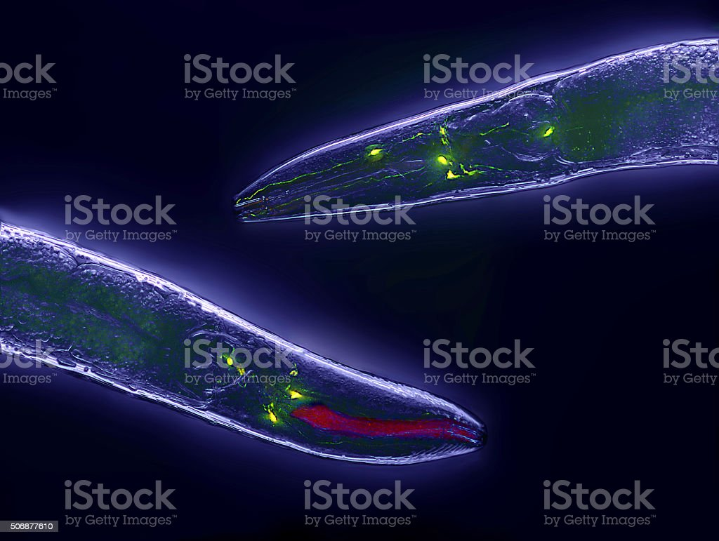Caenorhabditis elegans Caenorhabditis elegans, a free-living transparent nematode (roundworm), about 1 mm in length. Animal Stock Photo