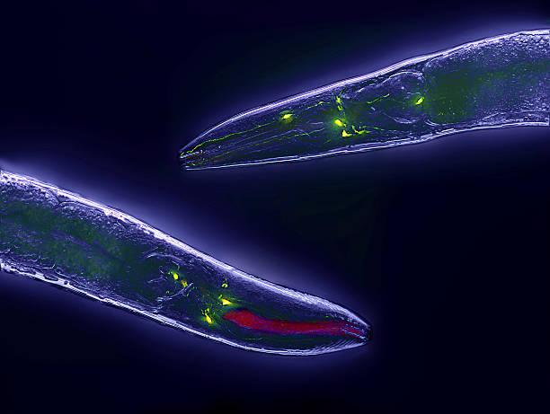 Caenorhabditis elegans Caenorhabditis elegans, a free-living transparent nematode (roundworm), about 1 mm in length. caenorhabditis elegans stock pictures, royalty-free photos & images
