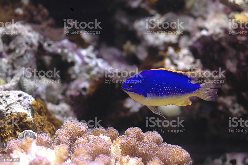 caerulean damselfish, Pomacentrus caeruleus stock photo