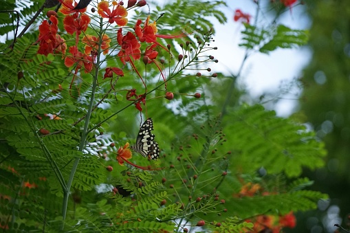 istock Caesalpinia pulcherrima and The Lime Butterfly Papilio 692823614