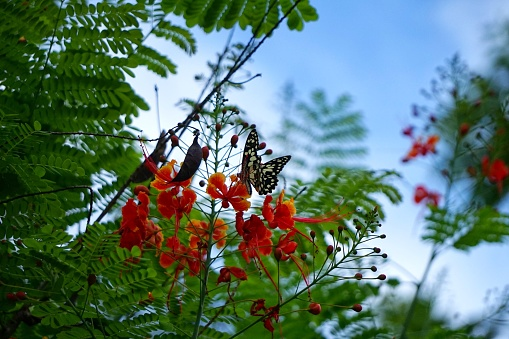 istock Caesalpinia pulcherrima and The Lime Butterfly Papilio 692823636