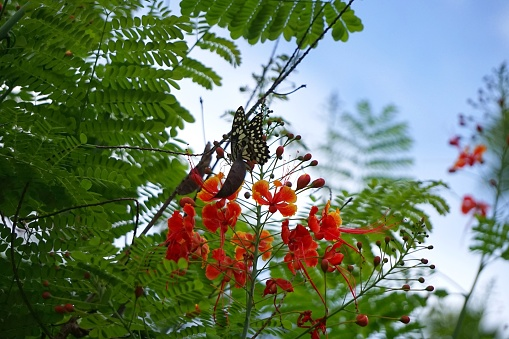 istock Caesalpinia pulcherrima and The Lime Butterfly Papilio 692823828