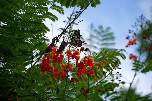 istock Caesalpinia pulcherrima and The Lime Butterfly Papilio 692823838