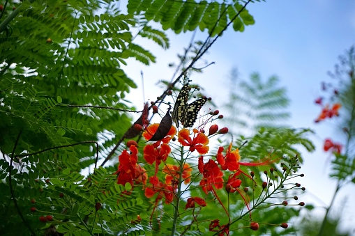 istock Caesalpinia pulcherrima and The Lime Butterfly Papilio 692826248
