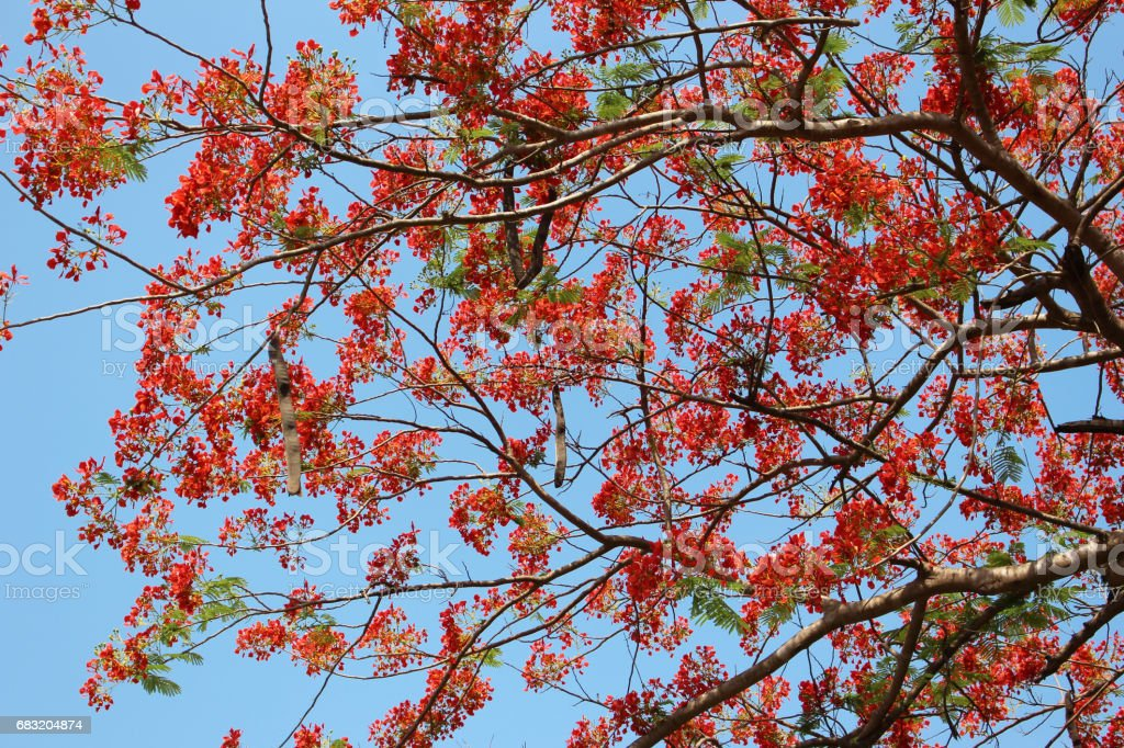 caesalpinia pulcherrima flower tree blue sky royalty-free stock photo
